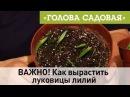 Голова садовая - ВАЖНО! Как вырастить луковицы лилий