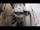 Мексиканские бойни расследование Animal Equality рус