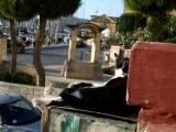 Жизнь на Мальте Мальтийские коты
