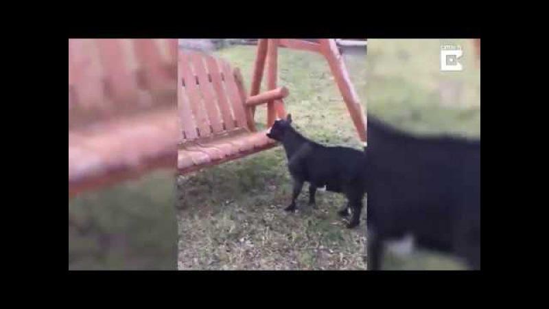 коза упала в обморок