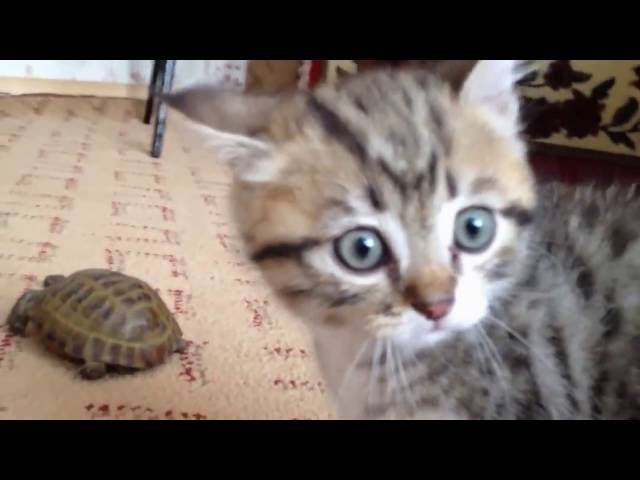 Cat and turtle and Lezginka