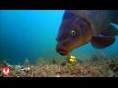 Water Wolf underwater camera carp fishing kit with BIG CARPS (Hengelsport2000)