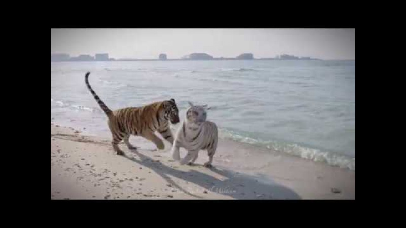 Тигры на пляже в Дубае. Бояться не надо!