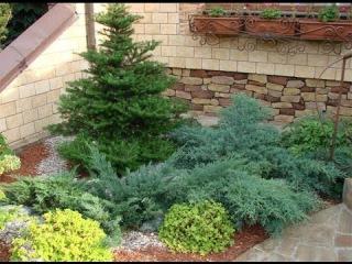 Какие хвойные растения лучше посадить на садовом участке