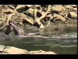 Крокодил разорвал зебру