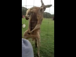 Kangaroo rap