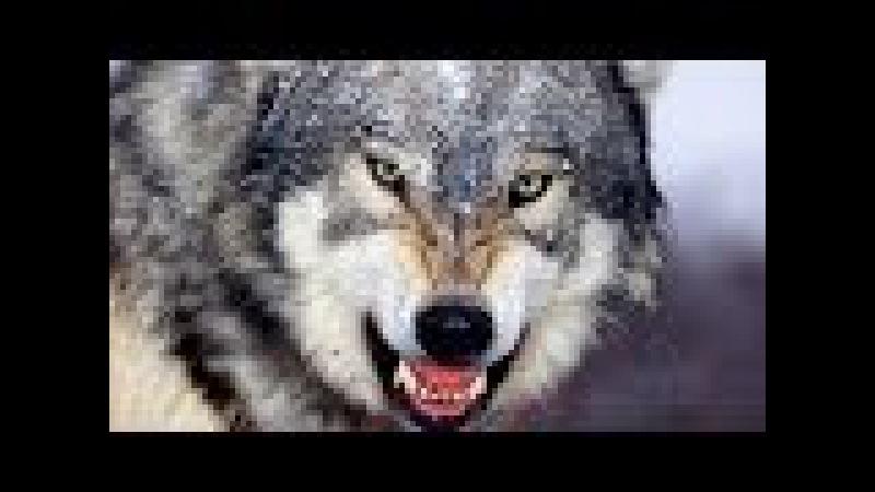 [новый]Фильм о дикой природе Жизнь волков.
