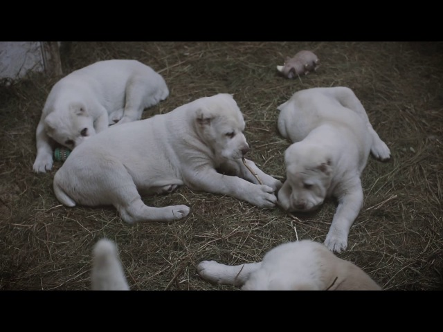 Питомник Алабай 62 - щенки