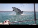 A Great White Shark Breached Just Missed Us!