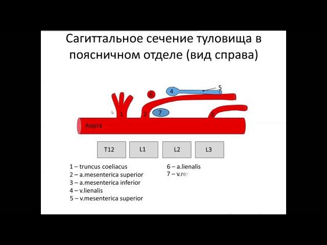 Анатомия сосудов брюшной полости: демонстрация на добровольцах