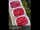 Карамелька собираем урожай малины в октябре в поле Питомника Сады Урала 1 октя