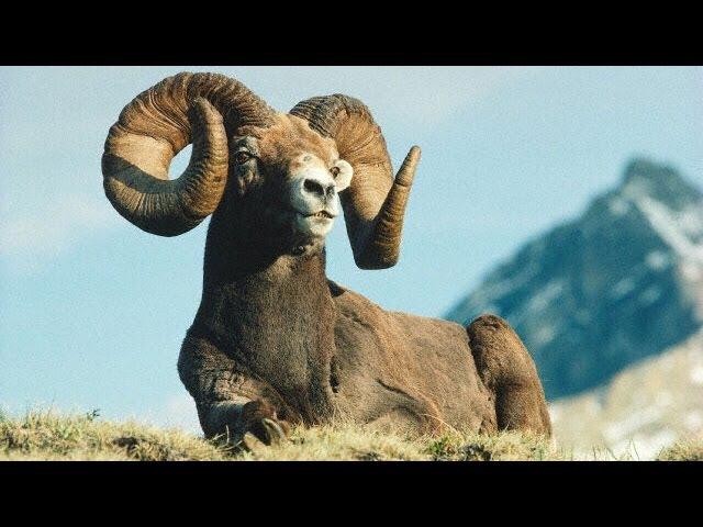 Охота на горного барана Марко Поло. Киргизия. Продолжение.