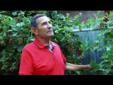Выращивание ежевик