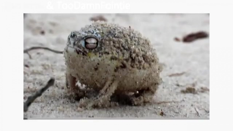 Very engry frog [MDA]