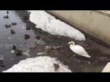 Лебедь чистит озеро от мусора в самом центре Казани vk.com/vkazani
