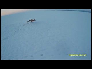 Охота с ягдтерьером, охота на лис с подхода и с норы