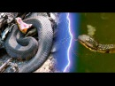 Cottonmouth vs Water Snake Attack snake Who will survive