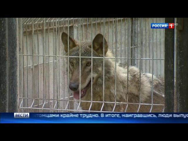 Вести-Москва • Сезон 1 • Теневая сторона рынка диких животных: кто и как спасает их от верной гибели?