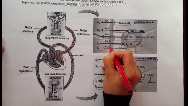 Solunum Sistemi 2 Oksijen Karbondioksit Taşınması