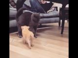 Мини-пиг Кари: Вот такая я смелая и дружелюбная, но кот меня побаивается!
