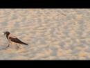 Хитрые вороны на пляже тут как тут