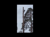 Спил 30-ти метровой сосны по частям