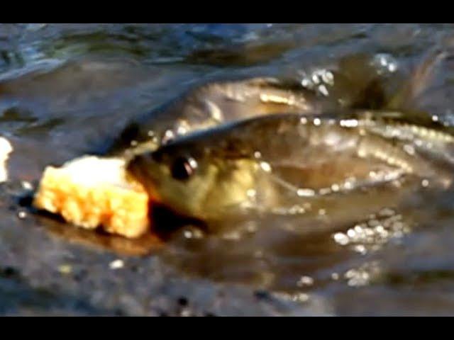 Выращивание карпа в маленьком пруду возле дома, эксперимент ч. 22 наличие рыбы мн ...