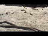 Такого Вы точно не видели ... Коллективная Охота Змеи на Игуану - Iguana chased by Snakes