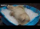 Белый медвежонок играет в бассейне с кубиками льда