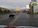 APD Patrols bear in Downtown Anchorage
