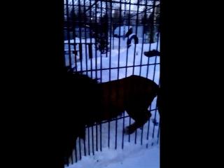 Барнаульский зоопарк , зима 2017. Любимый наш Алтай и Александр ,друг Алтая )
