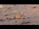 (ВИДЕО 18 ) Обугленные трупы боевиков Спецназ «Туран» производит досмотр уничтоженной банды ИГИЛ в Хаме