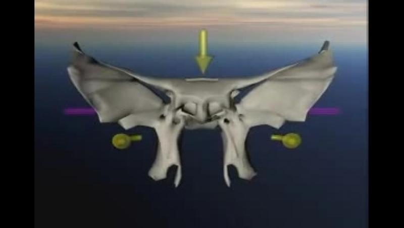 Краниосакральный ритм движения клиновидной кости