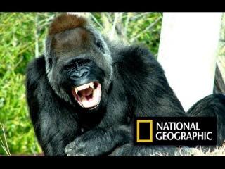 200 кг самец проявляет жестокую агрессию! Моя жизнь с гориллами. National Geographic