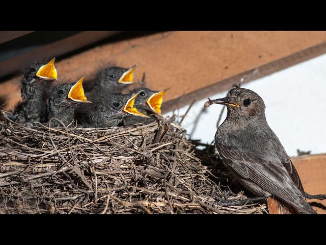 Горихвостка-чернушка в ласточкином гнезде
