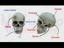 Череп 1 Лобная и клиновидная кости