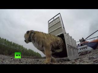 Первые шаги тигра Владика в дикой природе после прохождения реабилитации во Владивостоке