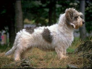 Вандейский бассет-гриффон, все породы собак, 101 dogs. Введение в собаковедение.
