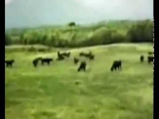 НЛО похищает корову с пастбища!