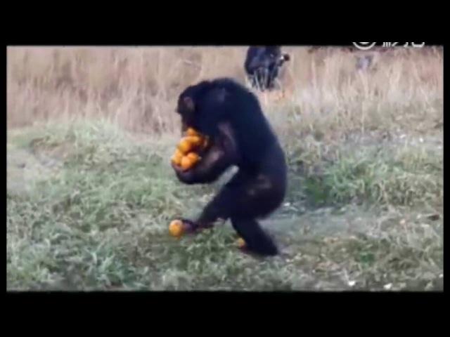 Шимпанзе с апельсинами Chimpanzee with oranges