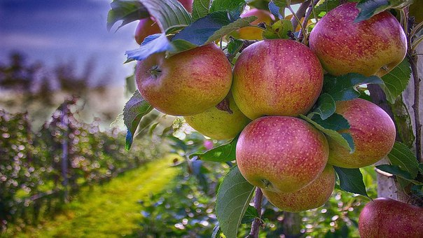 Посадки плодовых деревьев