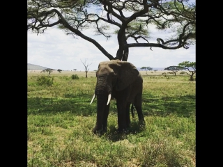 Elephants safari in tanzania africa