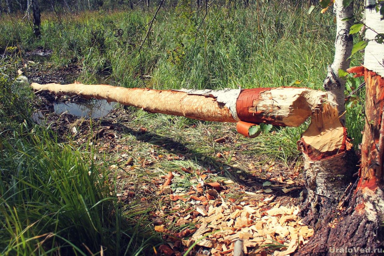 Дерево, поваленное бобрами
