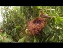 Черноголовая овсянка с птенцами