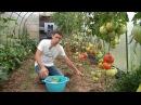 Сидераты. Посев под томаты.
