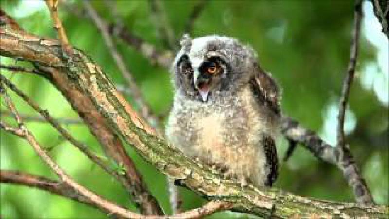 Пение птиц. Сова ушастая (Asio Otus).