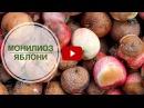 Монилиоз яблони ➡ Боремся с опасным заболеванием