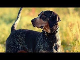 Крапчато голубой кунхаунд, все породы собак, 101 dogs. Введение в собаковедение.