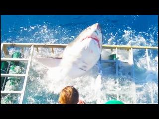 Большая белая акула сломала клетку с находившимся там дайвером - Great White Shark Cage Breach Accident