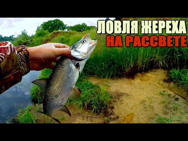 Рыбалка ранним утром. Ловля ЖЕРЕХА! Дерзкая злая поклёвка у ног!